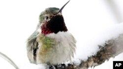 Se ha descubierto también que algunas de estas aves pasan el invierno en zonas con temperaturas gélidas.