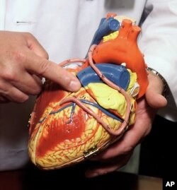 Dr. John Lasala, Director of the Cardiac Cath lab at Barnes-Jewish Hospital, points out major coronary arteries on a model of the human heart, Monday, June 24, 2002 in St. Louis. (AP Photo/Tom Gannam)