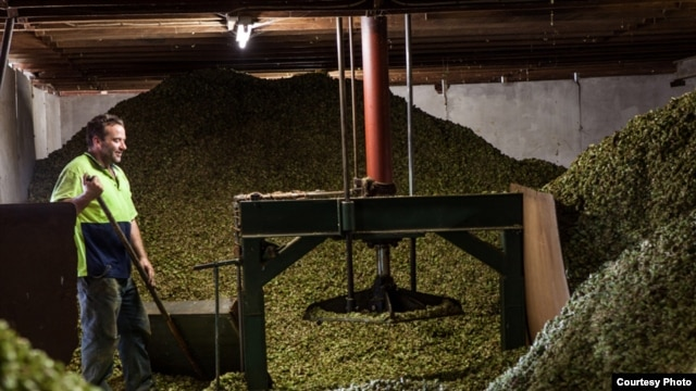 Hops are sorted at South African Breweries where a new experimental variety has been introduced for local craft brewers. (Courtesy South African Breweries)