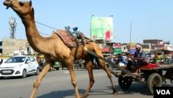 在古吉拉特邦的省级公路上,骆驼车与汽车同时在机动车道路上前行。(美国之音朱诺拍摄,2017年11月15日)