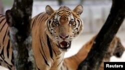 مسئولان باغ وحش موافق از بین بردن ببر قاتل هستند، اما درباره نحوه کشتن آن هنوز به توافق نرسیدهاند.