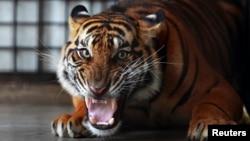 Seekor harimau Sumatera di tempat konservasi pelestarian alam Tambling (TWNC) dekat Bandar Lampung, Sumatera (Foto: dok). Seorang petani dikabarkan tewas digigit harimau saat bekerja di perkebunan karet dekat Taman Nasional di Btang Gadis, Sumatera Utara (13/3).