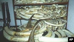 Presas de elefantes e de rinocerontes apreendidos pelas autoridades portuárias na África do Sul (Arquivo)