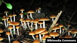 A hullucenogenic substance found in certain mushrooms appears to help with depression and anxiety among cancer patients.