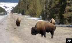 미국 몬태나주 웨스트 옐로우스톤 인근 고속도로를 따라 들소가 풀을 뜯고 있다.