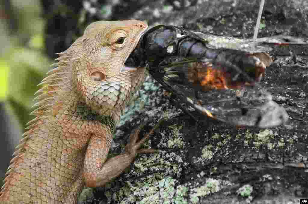 A lizard (L) eats a bug in Putrajaya, outside Kuala Lumpur, Malaysia.
