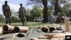 Kenyan Wildlife wardens keep a watch on confiscated elephant tusks at the Kenyan wildlife offices in Nairobi, Nov. 30, 2009