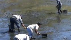 Tobacco Farmers Harvest Shrimp, Other Crops