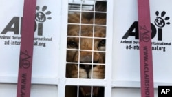 A former circus lion peers from inside a cage transporting it to South Africa, at the port of Callao, Peru, April 29, 2016.