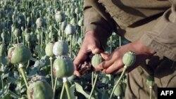 Производство опиума в Афганистане сократилось в связи с заболеванием мака