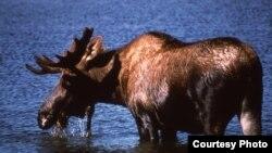 A moose (National Park Service).