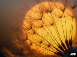 A blowball of a dandelion plant silhouettes against the setting sun on May 14, 2018 in Sieversdorf, eastern Germany.