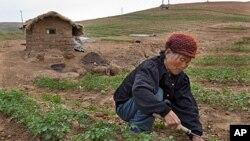 토지를 경작하는 북한 주민 (자료사진).