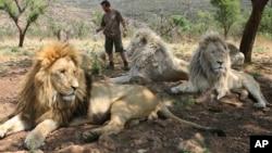 Kevin Richardson avec des lions dans le parc Broederstroom, près de Johannesburg, en Afrique du Sud.