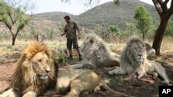 Singa-singa di Afrika menghadapi tantangan makin terbatasnya habitat untuk kelangsungan hidup mereka.