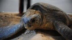 L'érosion menace les tortues Luth à Libreville