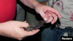 Lesser long-nosed bat captured during a citizen science research project is pictured in southern Arizona in this undated handout photo. (David Wahl/USFWS)