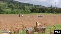 Penggunaan pestisida berlebihan oleh petani di Jawa Tengah. (VOA/Nurhadi Sucahyo)