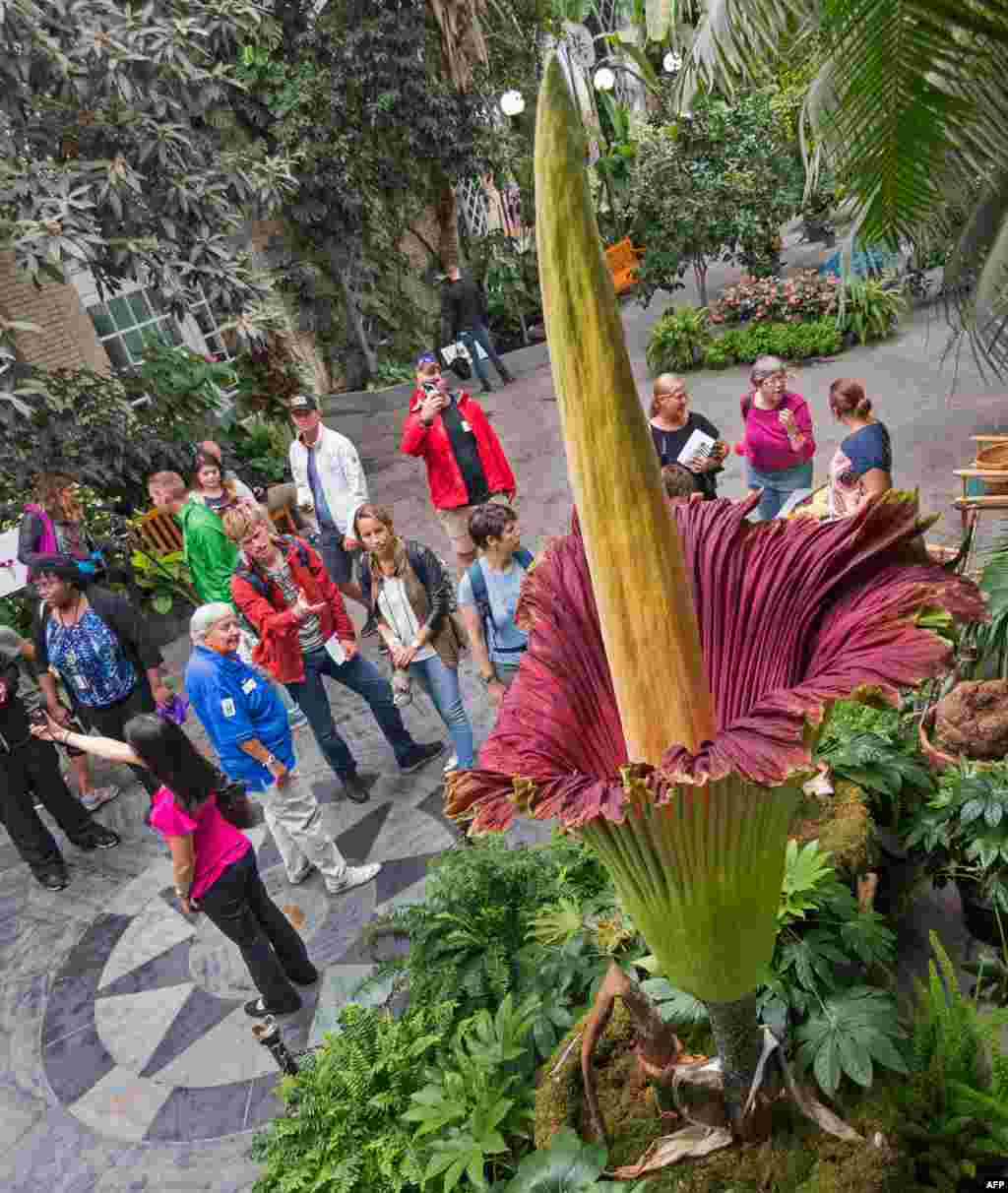 Visitors look at a blooming Corpse Flower (Titan Arum) that grew to 99.5 inches (252.7 cm) at the US Botanical Garden on August 29, 2017, in Washington, DC.