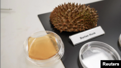 Durian husk and petri dish containing cellulose hydrogel sheet made out of durian husk with yeast phenolics are seen in Singapore September 16, 2021. (REUTERS/Lee Ying Shan)