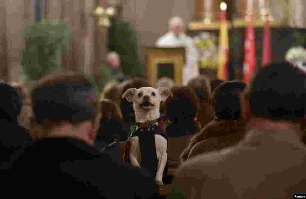 A dog takes part in a mass at San Anton Church in Madrid, Spain. Hundreds of pet owners bring their animals to be blessed at the church every year on the day of Saint Anthony, the patron saint of animals.