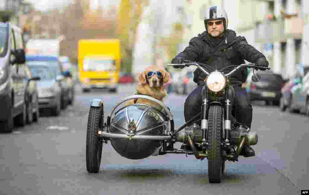 Golden retriever Marvin sits in the sidecar of his owner Martin Reichert's BMW R50 motorbike built in 1955 as they go to work in Berlin, Germany.