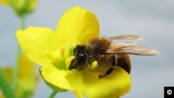 The honeybee was taught to recognize the scent of the rapeseed or canola flower (photo: Tracey Newman).