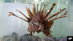 This 2013 photo shows a lionfish in a tank at the South Carolina Aquarium in Charleston, South Carolina. (AP Photo/Bruce Smith)