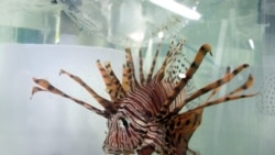 Quiz - Underwater Robot to Hunt Lionfish to Help Protect Coral Reefs