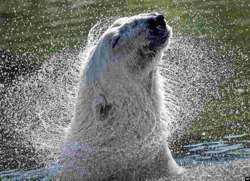 A polar bear refreshes in the water on a hot summer at the zoo in Gelsenkirchen, Germany.