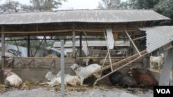 Kerusakan kandang ternak di Desa Asmorobangun Kecamatan Puncu Kabupaten Kediri, akibat letusan gunung Kelud (VOA/Petrus Riski)