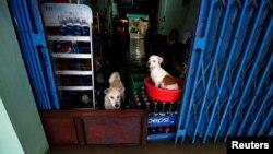 Mbwa wakiwa katika duka la vinywaji baada ya kukimbia mafuriko nchini Vietnam