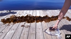 In this June 15, 2017 photo, a sample of a red shrub-like seaweed, bagged in sea water, collected in the waters off Appledore Island, Maine is displayed on a dock next to a blade of kelp. Kelp forests are critical to the fishing industry but are disappearing.