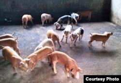 Isolasi babi menjadi jalan keluar mencegah penyebaran ASF. (Foto courtesy: Robi)