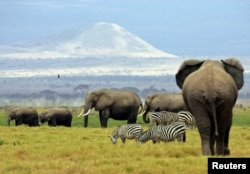FILE - A family of elephants walk between zebras in Amboseli National Park in southeast Kenya, Aug. 22, 2004.