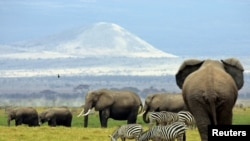 A family of elephants walk between zebras in Amboseli National Park in southeast Kenya in 2004