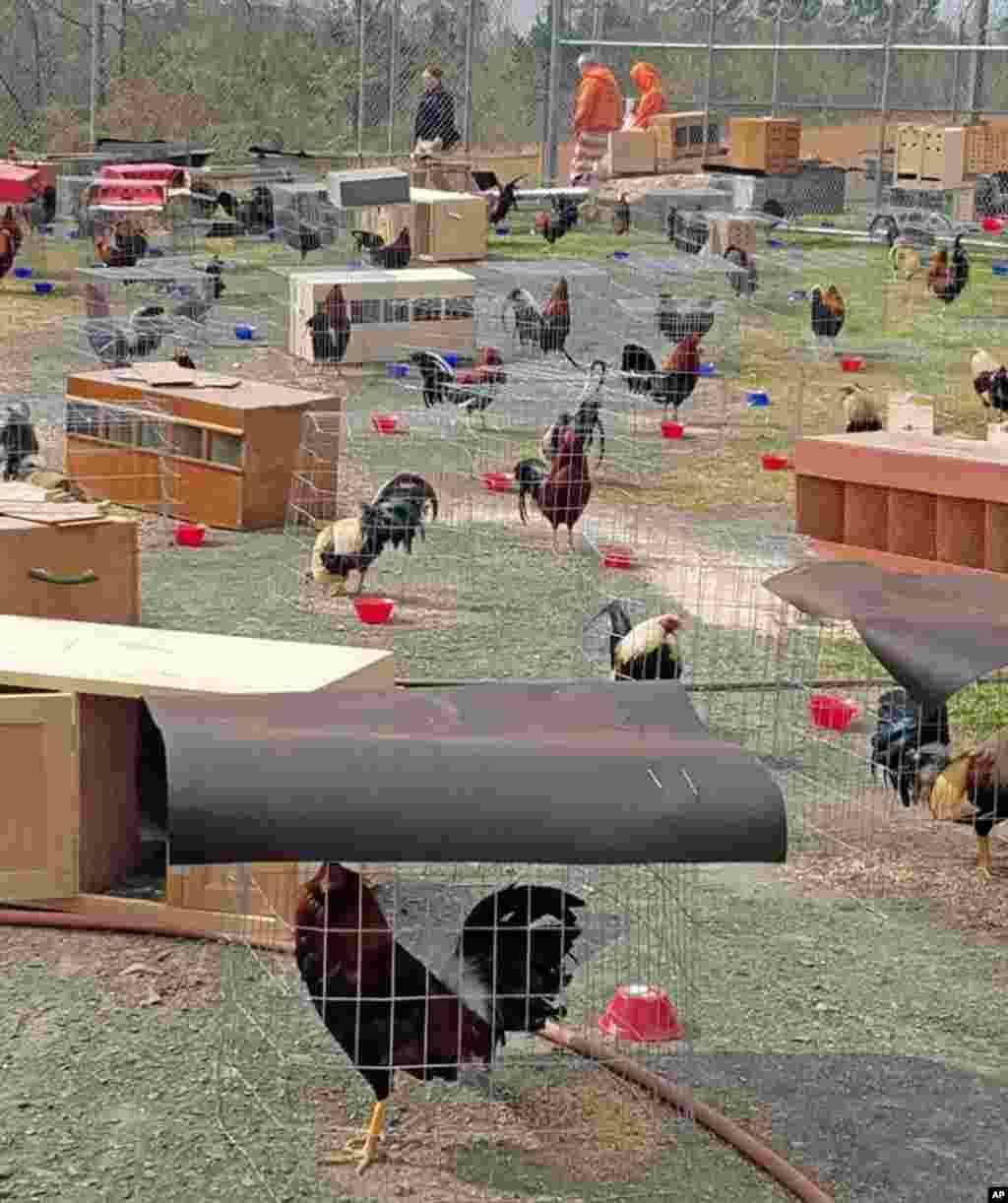 美国阿肯色州塞维尔县警长办公室提供的照片显示,在2018年3月17日,警察在一场斗鸡比赛中没收了200只公鸡(roosters)。