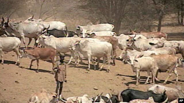 A herder in Kenya tends to his cattle, Aug 2010