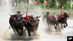 Balapan kerbau di balapan kerbau tahunan di Provinsi Chonburi, selatan Bangkok, Thailand, 13 Juli 2019. (Foto: AP)
