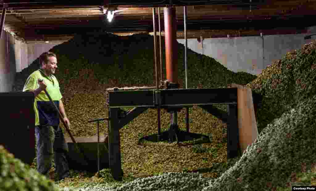 A South African Brewery employee sorts mounds of hops in preparation for brewing some of the nation's popular standard labels. (photo courtesy South African Breweries)