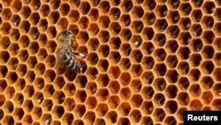 꿀벌 대체할 야생벌 연구 주목