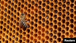 FILE - A bee sits on a honeycomb from a beehive.