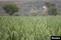 FILE - A sugar cane field is pictured in Zacatepec de Hidalgo, in Morelos state, Mexico, May 31, 2017.