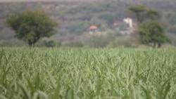 Indústria de açúcar em crescimento, mas desafios são enormes, dizem analistas