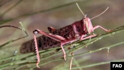 A locust devouring vegetation in Morocco, July 2004. ©FAO/Giampiero Diana