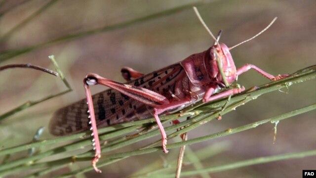 A locust devouring vegetation in Morocco, July 2004. ©FAO/Giampiero Diana