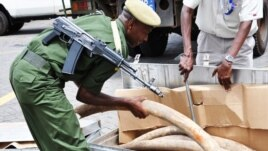 Some of the 2 tons of elephant ivory seized in Interpol's Operation Worthy. (Kenyan Wildlife Service 2012)