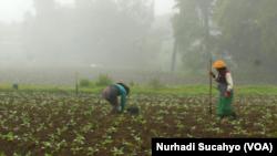 Petani menanam tembakau di Wonosobo, Jawa Tengah. (Foto: VOA/Nurhadi)