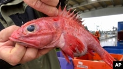 In this Dec. 11, 2019 photo, Kevin Dunn, who fishes off the coasts of Oregon and Washington, holds a rockfish at a processing facility in Warrenton, Oregon. (AP Photo/Gillian Flaccus)