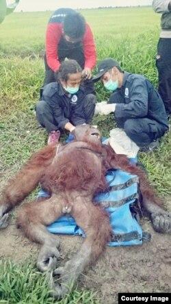 Petugas Balai KSDA Kalimantan Tengah merawat orangutan jantan yang ditemukan dalam kondisi luka-luka di Desa Pempuyang, Kecamatan Teluk Sampit, Kabupaten Kotawaringin Timur (Foto: KLHK).